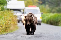 USA, Brown bear walking on road in front of cars