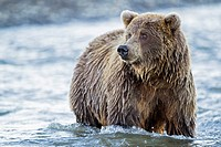 USA, Alaska, Brown bear in Silver salmon creek at Lake Clark National Park and Preserve