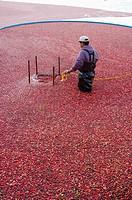 Cranberry harvest, villeroy quebec canada