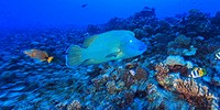 Napoleon wrasse chelinus undulatus, bora bora island society islands french polynesia south pacific