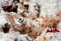 Faxon´s shrimp Solenocera faxoni, Sulawesi, Indonesia, Southeast Asia, Asia