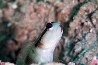 Black line shrimp goby Myersina nigrivirgate, Sulawesi, Indonesia, Southeast Asia, Asia