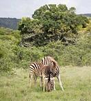 Two zebras in safari park