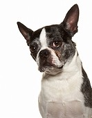 Black and White Boston Terrier Posing