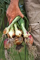 Hand holding bunch of recently uprooted onions.