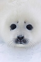 Harp Seal pup on ice
