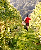 man running through grapevines with container