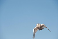 Snowy Owl Nyctea scandiaca flying