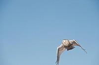 Snowy Owl Nyctea scandiaca flying