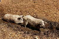 Curly-hair hogs or Mangalica pigs wallowing in mud, organic husbandry, Hungary, Europe