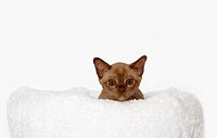 Burmese cat, 10 weeks old, on a white cuddly cushion