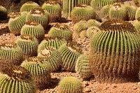 Golden barrel cactus (Echinocactus grusonii), Botanicactus Park, Majorca, Spain, Europe
