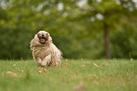 Bolonka Zwetna or Coloured Lapdog running across a meadow