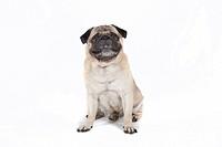 Fat pug, carlin