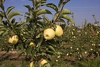 Apple golden on a fruit tree  LLeida  Spain