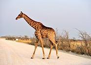 Giraffe crossing a road. Etosha Park, Namibia