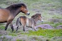 Exmoor Ponies, mare with foal, nature reserve De Bollekamer, Island of Texel, Netherlands