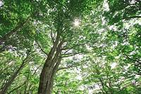 Forest of beech Fagus crenata in Mennoki Enchi