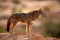 Coyote, Canis latrans, Monument Valley, Utah, USA, adult