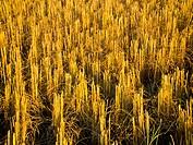 pattern of rice
