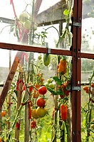 Old rusting glass greenhouse ripe tomato vegetable
