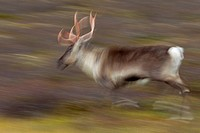 Reindeer Rangifer tarandus running with bloody antlers on the tundra in autumn, Jämtland, Sweden, Scandinavia
