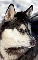 Beautiful Siberian Husky