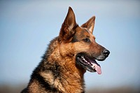German Shepherd, portrait