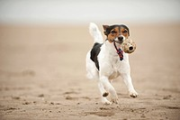 Galloping Jack Russell Terrier on the beach