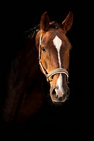 Oldenburg horse, portrait