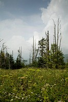 Dead Fraser Firs, Wildflowers, Clingmans Dome, Great Smoky Mtns NP