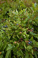 Blueberries, Shinning Rock Wilderness Area, Pisgah National Forest, NC