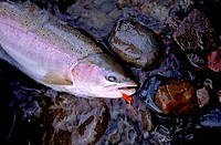 A steelhead trout caugh on a hand tied fishing fly