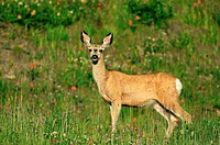 A mule deer doe stands and looks in the summer meadow