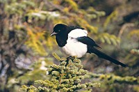 A side view of a magpie perched on the top of a spruce branch
