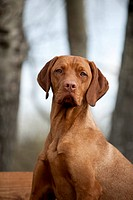 Magyar Vizsla dog, portrait