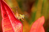 Grass hopper on red color leaf, Borneo