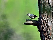 Kruper's Nuthatch - Sitta kruperi, Lesvos, Greece