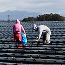 Workers planting strawberries along the Central California coast, USA