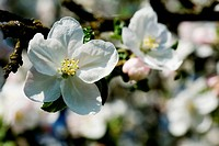 White and pink apple blossom