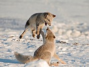 Arctic Foxes Playing Along The Arctic Coast Of Alaska