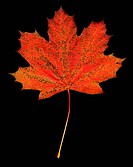 Red Maple Leaf with Dark Orange Fungus Spots on Black Background
