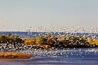 Snow Geese, L´Isle_Verte Bird Sanctuary, Quebec, Canada