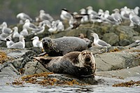 Harbour Seal Phoca vitulina hauled out on rocks at low tide, Hanson Island, Vancouver Island, British Columbia, Canada