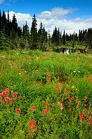 Alpine meadows with flowering alpine plants_Indian Paintbrush, lupine and arnica, Mount Revelstoke National Park, British Columbia, Canada