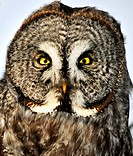 Great Gray Owl, Strix Nebulosa, looking at camera, Ottawa, Ontario, Canada
