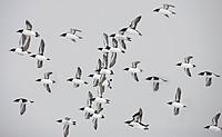 Flock of Thick_billed Murre, Uria lomvia, Nunavut, Canada