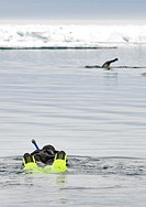 Snorkeler approaching Narwhal, Monodon monoceros, Nunavut, Canada