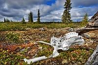 Caribou skull, Nunavik, Quebec, Canada