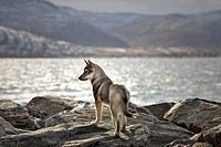 Sled dog puppy, Wakeham Bay, Nunavik, Northern Quebec, Canada